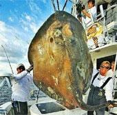 """Bắt được """"cá quái vật"""" 362kg"""