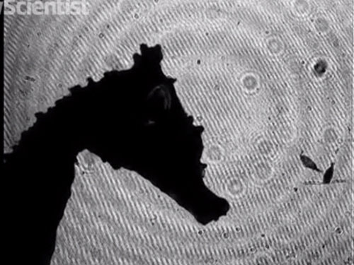 Cá ngựa lùn đớp mồi 1/1000 giây