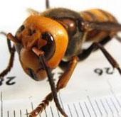 """Video: 10 côn trùng """"sát thủ"""" nguy hiểm nhất hành tinh"""