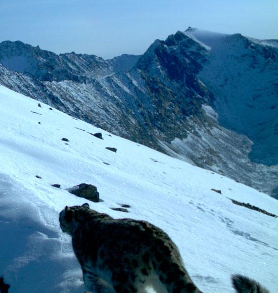 Hình ảnh đầu của Báo tuyết ở Nga