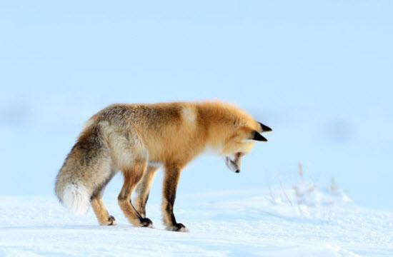 Ảnh đẹp: Khoảng khắc cáo lao đầu xuống tuyết bắt chuột