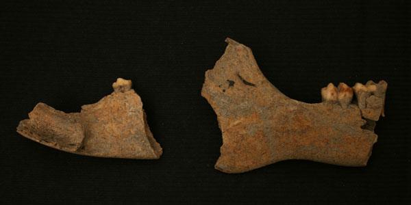 Phần hàm của một con lợn cỏ pêcari được tìm thấy trên hòn đảo nhỏ Carriacou thuộc vùng biển Caribbean.