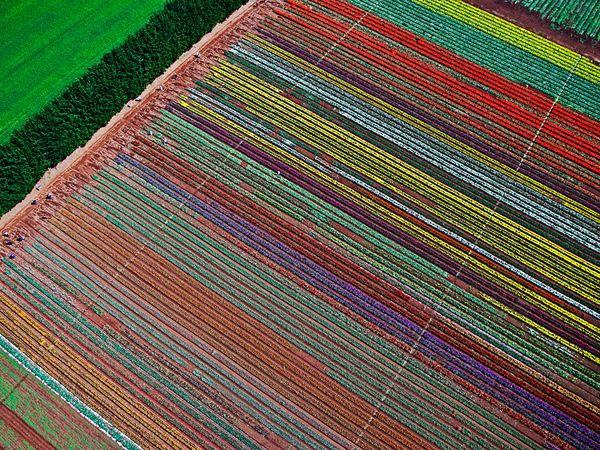 Những cánh đồng hoa tulip nhiều màu sắc gần bờ biển Wynyard ở Tasmania (Australia) được chụp từ trên máy bay trực thăng