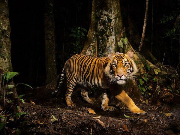 Một con hổ nhìm chằm chằm vào camera theo dõi trong khi đi săn mồi vào sáng sớm trong khu rừng Sumatra, Indonesia