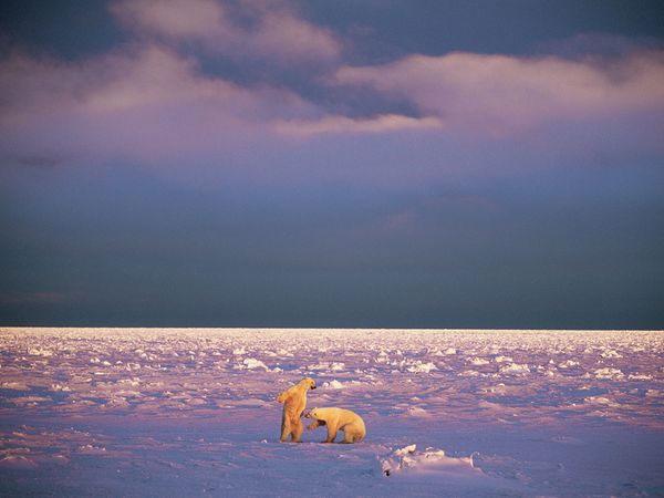 Gấu Bắc Cực vui đùa trên băng ở đảo Svalbard (nằm giữa Na Uy và Bắc Cực) -