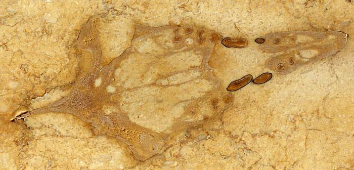 Hóa thạch cá voi 40 triệu năm