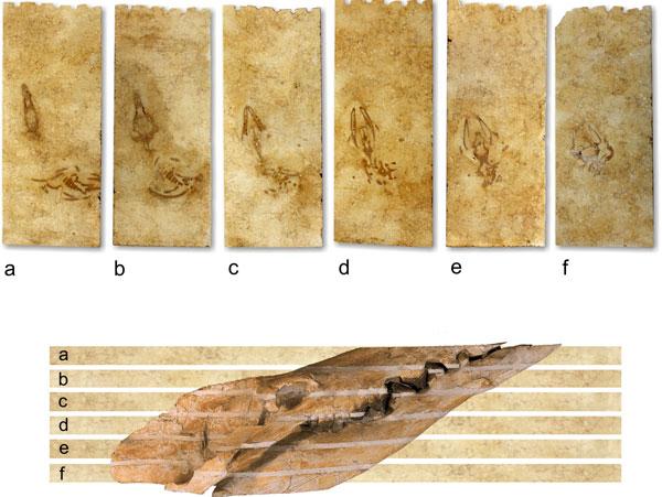 Từ 6 mảnh ghép của hóa thạch có thể hình dung rất rõ loài cá voi thời tiền sử.