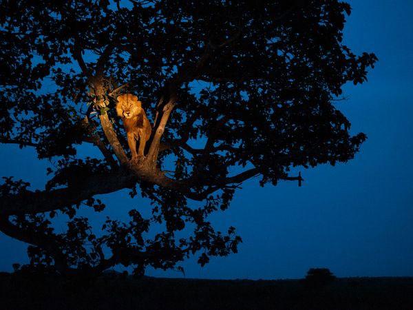 Một con sư tử trèo lên cây trong Vườn quốc gia Elizabeth ở Uganda