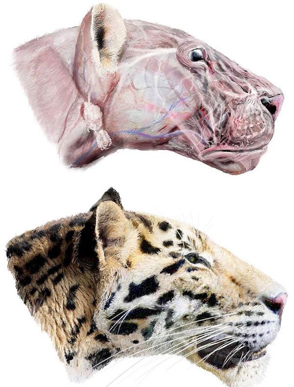 Hình ảnh loài hổ Panthera zdanskyi được dựng trên vi tính dựa trên hộp sọ được phát hiện.