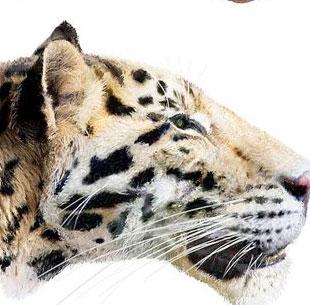Phát hiện loài hổ lâu đời nhất trên Trái đất