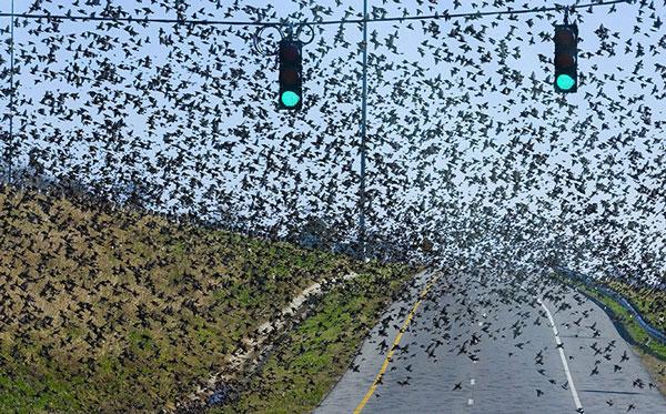 Ảnh đẹp: Một đàn chim két lớn bay qua đường cao tốc