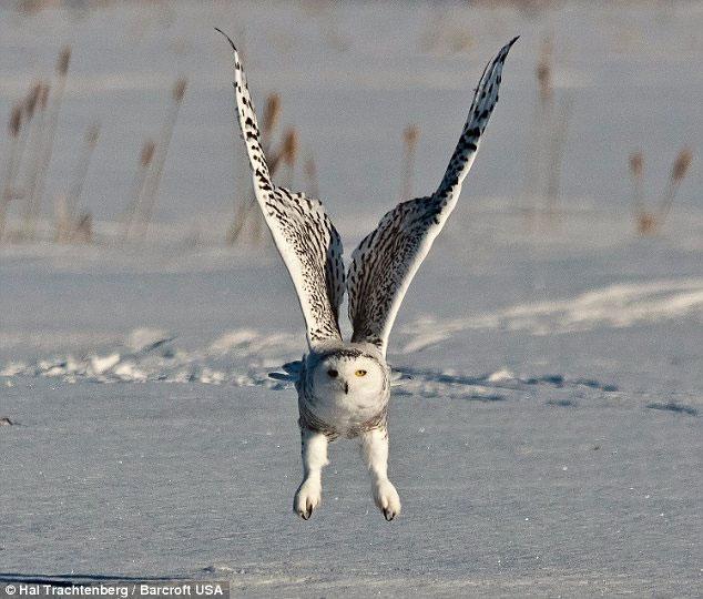 Ảnh đẹp: Khoảnh khắc chim cú tuyết săn chuột đồng