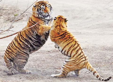 Hổ hoang dã Trung Quốc có thể biến mất