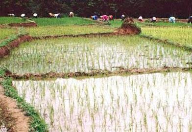 Gạo và nguy cơ phơi nhiễm thạch tín