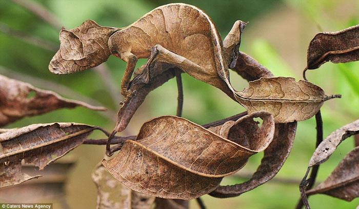 Tắc kè hoa như biến thành chiếc lá khô trong công viên quốc gia Andasibe-Mantadia ở Madagascar