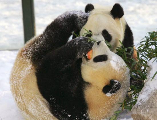 Ảnh đẹp: Gấu trúc chơi đùa trong vườn thú