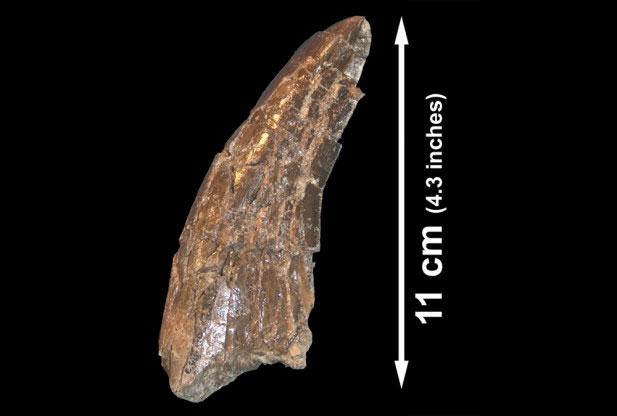 Răng của loài khủng long ăn thịt chân ngắn đuôi dài đã phát hiện với xương của khủng long Alamosaurus.