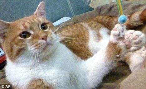 Bị biến dị hiếm gặp, mèo mọc thêm 8 ngón