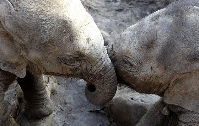 Ảnh đẹp: Ngắm cặp voi sinh ra giữa mùa lũ Thái Lan vui đùa