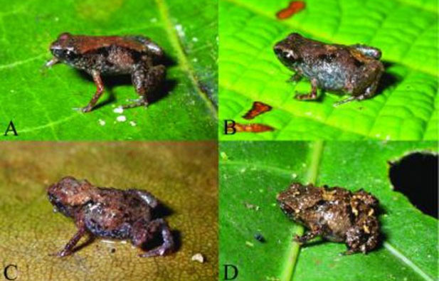 Loài ếch Paedophryne dekot (ảnh A,B) và Paedophryne verrucosa