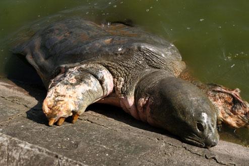 Qua hình ảnh này, các nhà khoa học lo ngại bệnh của cụ Rùa sẽ tái phát, sức khỏe của cụ sẽ lại bị đe dọa.