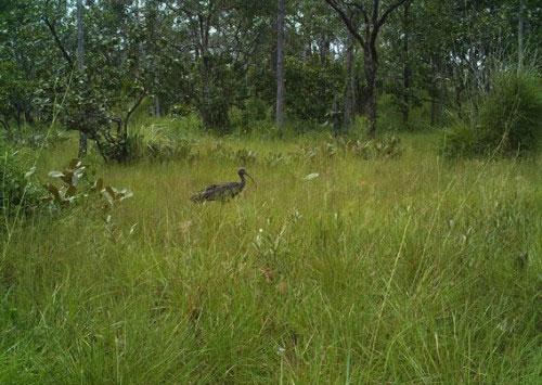 Ghi được hình ảnh hiếm hoi của loài cò quăm lớn