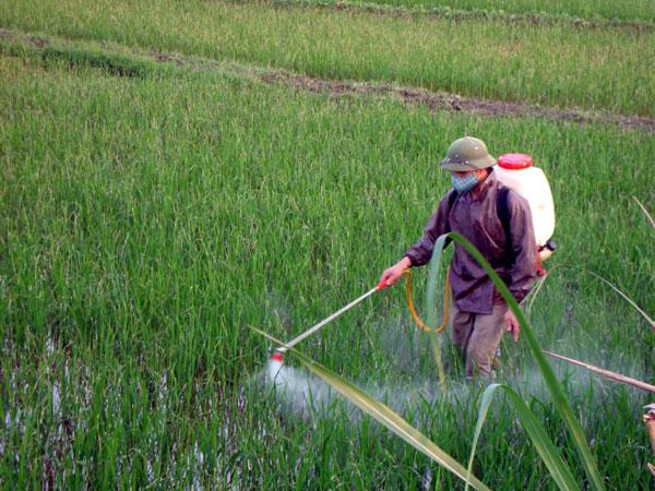 Thuốc trừ sâu đang làm hại lúa