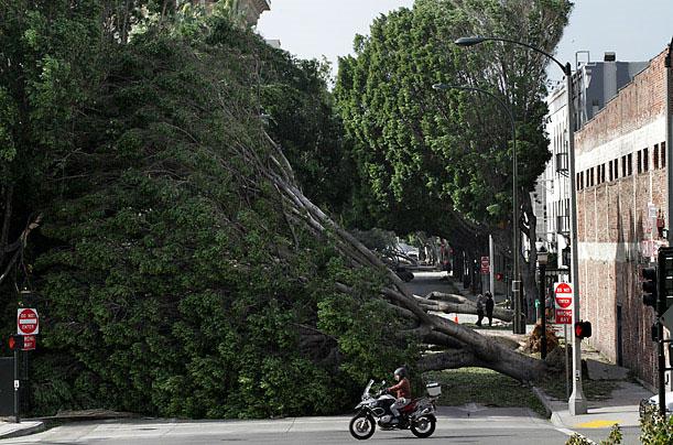 Cây bị đổ vì những cơn gió mạnh bất thường. Hàng ngàn người California bị cắt điện và sân bay bị đóng cửa vì gió to. Đây là đợt gió mạnh Santa Ana ở Pasadena, California vào ngày 1/12/2011.