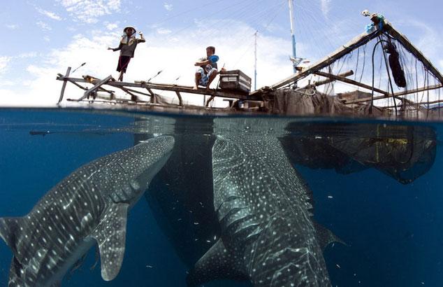 Ảnh đẹp: Cá mập voi trộm thức ăn