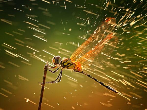 """Bức tranh giành giải nhất có tên """"Splashing"""" của tác giả Shikhei Goh. Tác giả bức tranh cho biết, trong một trận mưa bất ngờ trên đảo Riau của Indonesia, anh đã ghi lại được cảnh chuồn chuồn đạp cánh rũ nước khi nắng lên. Một thành viên ban giám khảo nói rằng tác giả đã chụp ở góc máy gần với ánh sáng rất hoàn hảo."""