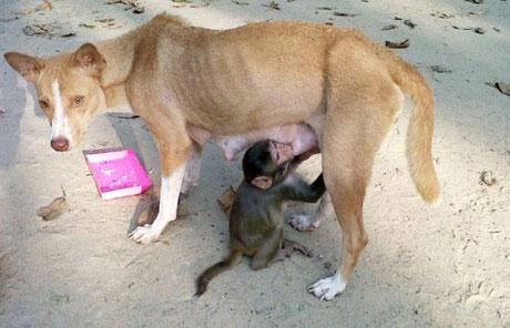 """Chó trở thành """"sao"""" vì nuôi khỉ"""