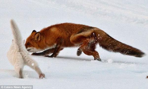 Ảnh đẹp: Mèo đuổi cáo chạy cong đuôi
