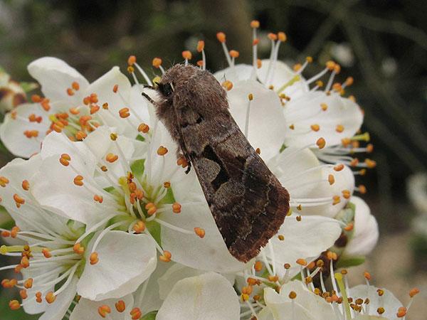 Ảnh đẹp: Bướm đêm đậu trên những bông hoa màu trắng