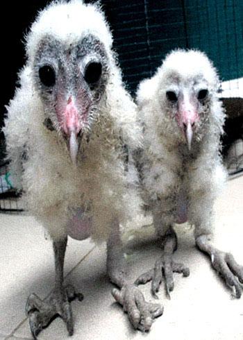 Tổ chim lạ khổng lồ trong nhà dân