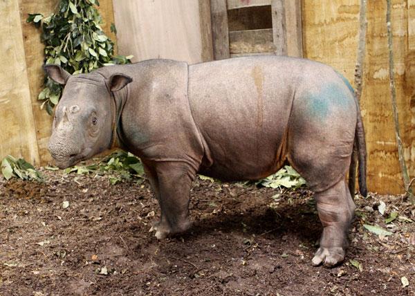 Bắt được tê giác Sumatra