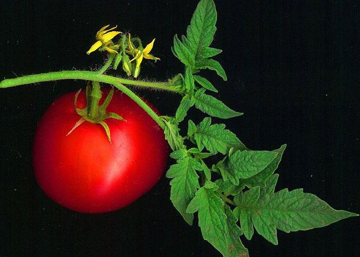"""Phát hiện cơ chế """"đồng hồ sinh trưởng"""" ở cây cà chua"""