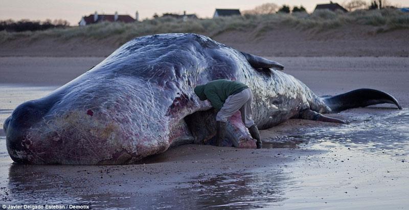Phát hiện xác cá nhà táng khổng lồ tại Anh