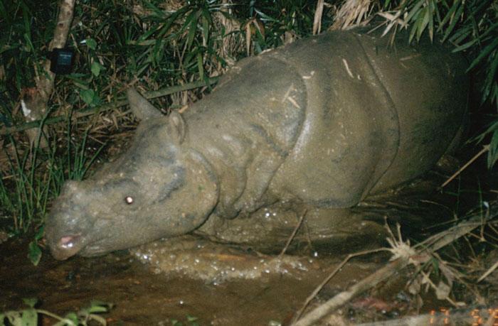 Tê giác quý hiếm Java tuyệt chủng ở Việt Nam.