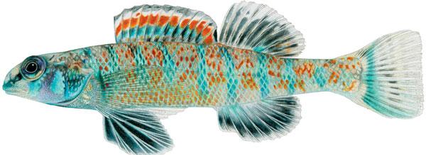Loài cá mới này có tên gọi Etheostoma Obama.