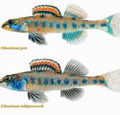 Loài cá nước ngọt mang họ của Tổng thống Obama