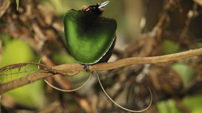 Loài Cicinnurus magnificus