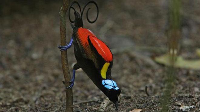 Loài Cicinnurus respublica