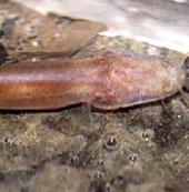 Phát hiện loài cá mới không có mắt tại Việt Nam