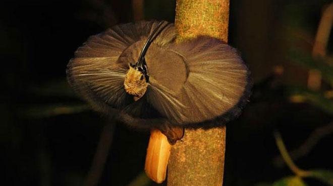 Loài Drepanornis albertisi