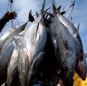 Thái Bình Dương trước nguy cơ cạn kiệt nguồn cá ngừ