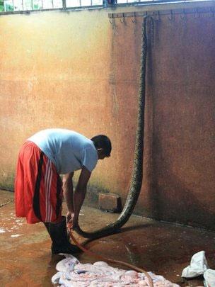 Trăn bị giết lấy da tại Indonesia, Malaysia và Việt Nam