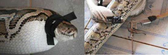 Cảnh tượng giết trăn lấy da tàn nhẫn tại một cơ sở giết mổ ở Việt Nam