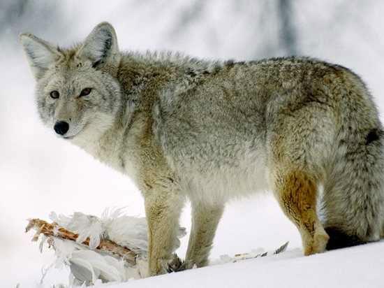 Loài sói thuần chủng hiện nay dường như khá hiếm
