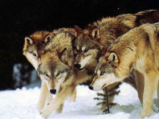 Ăn thịt đồng loại là điều khá phổ biến trong thế giới của loài sói.