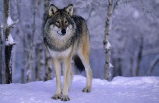 Thực tế sói ở Châu Mỹ khá hiền và ít tấn công con người hơn các nơi khác